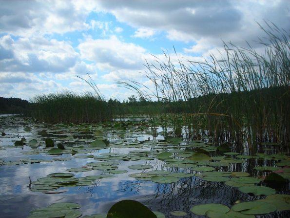Schilf am Müritzsee